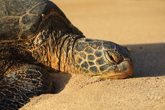 Close-up of a Hawaiian Seat Turtle Stock Image
