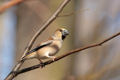 Hawfinch - Coccothraustes coccothrautes in the forest