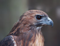 Close-up of hawk Royalty Free Stock Images