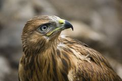 Close up of hawk Stock Photography
