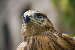 Close up of hawk Stock Image