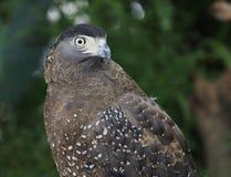 Close up hawk bird Royalty Free Stock Photography