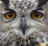 Close up of hawk owl face Royalty Free Stock Photos