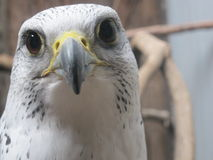 Close Up- Hawk Royalty Free Stock Images