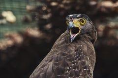 Close up Hawk Royalty Free Stock Photos