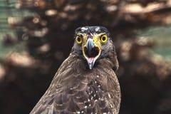 Close up Hawk Royalty Free Stock Image
