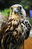 The Hawk Royalty Free Stock Photography