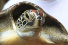 Close up of a Hawksbill Turtle Royalty Free Stock Photos