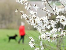 Close-up of hawthorn blossom with a blurred background, Chorleywood House Estate stock photography