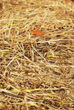 Close up hay straw stack texture, agriculture background Royalty Free Stock Photography