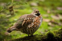 Close up Hazel Grouse. Bird in the forest, bird in its natural habitat, speckled bird standing in the green forest, europe, germany stock photos
