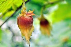 Close-up of hazelnut Royalty Free Stock Photography