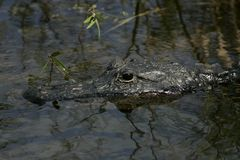 An American Alligator Close Up royalty free stock photo