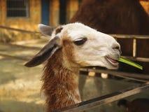Staring Alpaca. Close  up a head-on alpaca face Royalty Free Stock Image