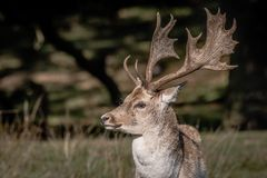 A close up of a fallow deer buck. A close up of the head and antlers of a buck farrow deer. The portrait is a profile and the deer is looking left royalty free stock photography