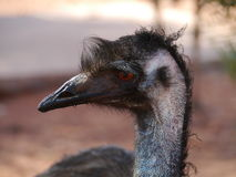 A close up of the head of an australian emu Royalty Free Stock Photography