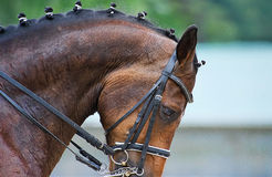Close up of the head a bay dressage horse Stock Photography