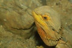 Close up head bearded dragons lizard. On sand Stock Photography