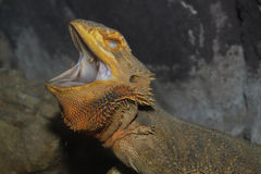 Close up head bearded dragons lizard Stock Image