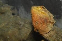 Close up head bearded dragons lizard Royalty Free Stock Photo