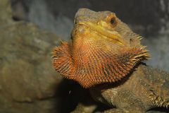 Close up head bearded dragons lizard Stock Images