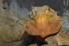 Close up head bearded dragons lizard