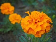 Close up head of beautiful orange marigold flower Tagetes erecta, Mexican, Aztec or African marigold in the garden royalty free stock photography
