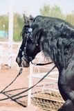 Close up of Head of black horse. Close up of Head of a black horse stock photography