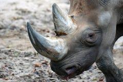 Black rhinoceros or hook-lipped rhinoceros Diceros bicornis. Close up head of black rhinoceros or hook-lipped rhinoceros Diceros bicornis is a species of Stock Photography