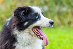 Close up head border collie dog Royalty Free Stock Photo