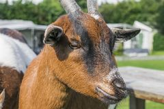 Close up head of a brown-black goat Stock Image