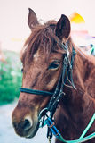 Close up head of brown horse with halter. Stock Image