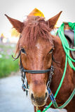 Close up head of brown horse with halter. Royalty Free Stock Image
