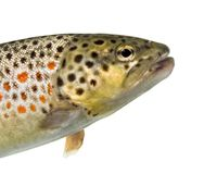 Close-up of head of brown trout, isolated royalty free stock photos