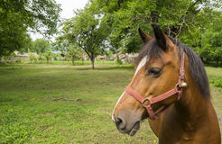 Close up head of a brown workhorse Royalty Free Stock Photography