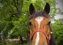 Close up head of a brown workhorse Stock Photos