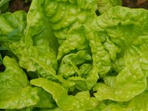 A close up of a head of cabbage lettuce Royalty Free Stock Images