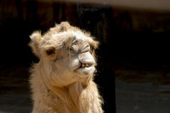 Close up of a head of a camel Royalty Free Stock Photography