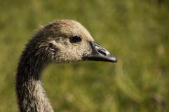 Close Up of the Head of a Canadian Goose Gosling Stock Images