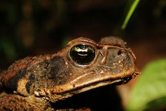 Close up of the head from a cane toad in south american rainforest, also a major threat in Australia royalty free stock image
