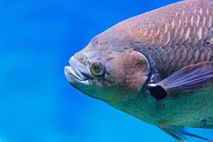 Close up head carp bream in water. Abramis Brama royalty free stock photos