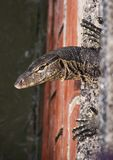 Close up of head and claws of asian water Monitor lizard Varanus salvator living in the sewage system stock photo