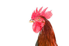 Close up head cock with red comb looking Royalty Free Stock Image