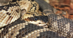 A Close Up of a Mojave Rattlesnake Royalty Free Stock Image