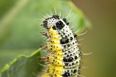 Close up of head of colorful caterpillar climbing a leaf stem Royalty Free Stock Photo