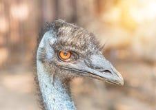 Close up head of common emu Dromaius novaehollandiae Aptenodytes forsteri flightless bird. Looking with orange eyes royalty free stock image