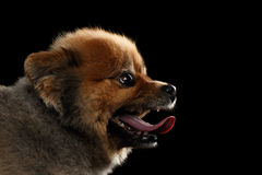Close-up head of Cute Red Pomeranian Spitz Puppy in Profile Stock Photography