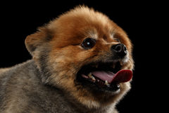 Close up head of Cute Red Pomeranian Spitz Puppy, Profile Royalty Free Stock Photography