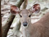 Close up head of deer stock photo