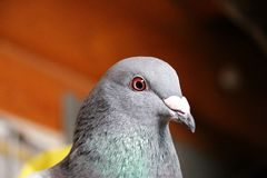 Dove head portrait. Close up from a head of a dove in the sunshine stock photography
